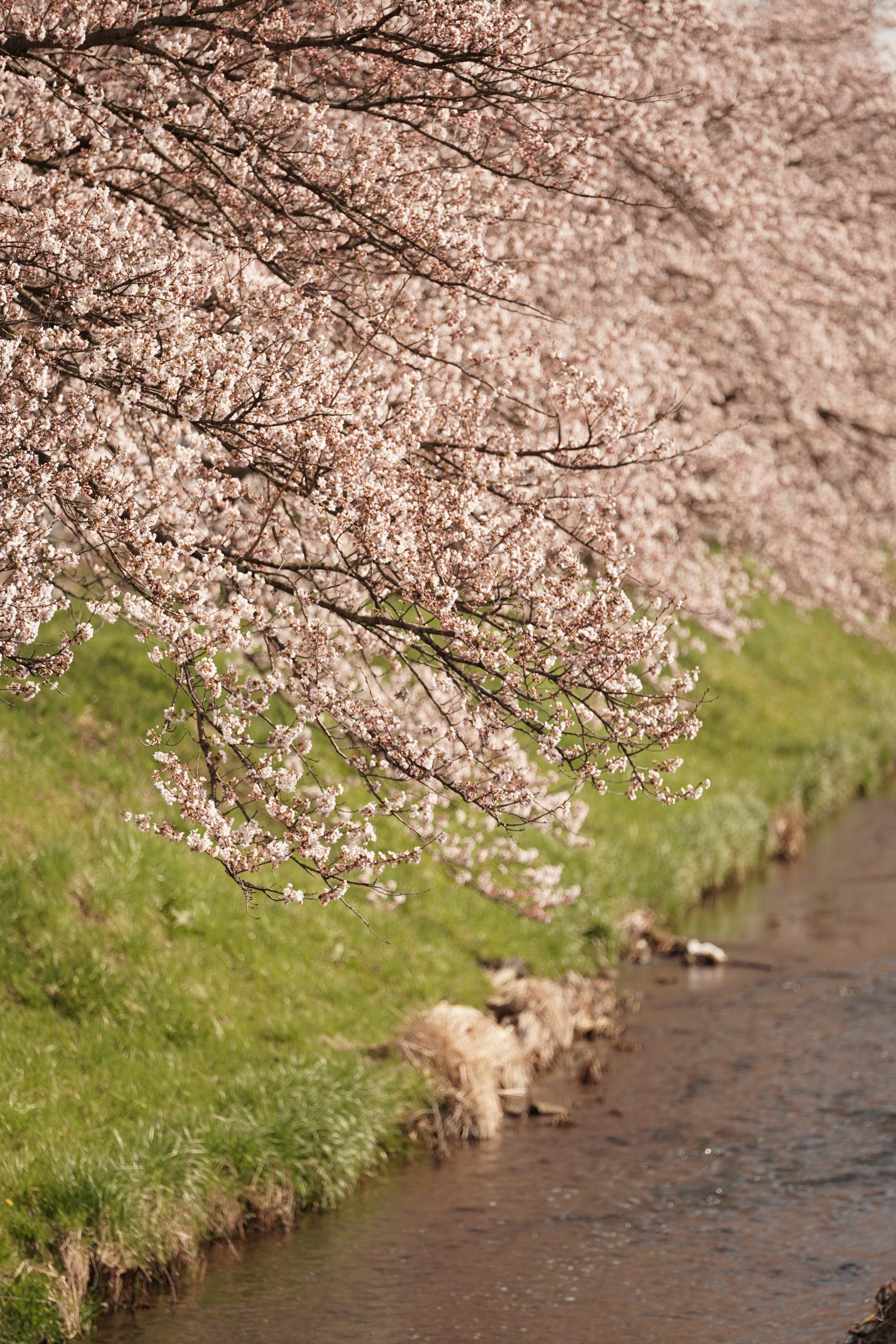 桜は今年も咲きました。